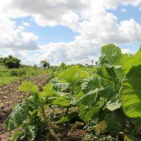 Sergipe Horticulture Irrigated Organic Agriculture